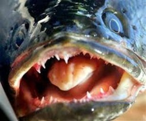 Image: Snakehead's mouth with teeth