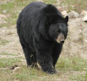 Image: Black bear